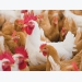 Slow-growth chicken consumer opinions can be swayed