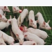 Study sets calcium-to-phosphorus ratio for 11-22 kg pigs