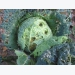 Physiological disorders in cabbage