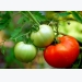 Planting Tomato Plants General Guidelines