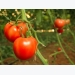 Expert Tips for Growing Best Tomato Plants