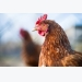 Laying hens stick to their own routine