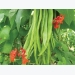 Expert Tips – How to Grow Runner Beans Successfully