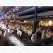 Reducing aggression and floor eggs in cage-free flocks