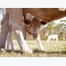 Cow's high selenium diets may boost protein transfer to calves