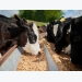 AB Vista looks to boost fiber use in dairy feeds