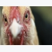 New stress response component identified in poultry brain