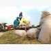 Thailand's rice subsidy program may affect Vietnam: rice operators