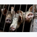 Vietnam says African swine fever outbreak slows, urges farmers to rebuild herds