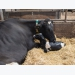 Benefits seen in use of spray-dried plasma in diets of lactating cows