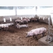 Long An People's Committee advises not to repopulate pig herds when African swine fever