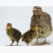 Brain research to test embryonic stress, hunger in poultry