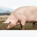 Pig keepers warned not to feed kitchen scraps to pigs due to African swine fever risk