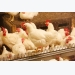 Strengthening broiler legs through nutrition and management