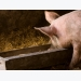 Researchers question efficacy of low-protein, high-fiber diets on pig development