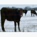 Cow/calf producers should estimate winter feed needs