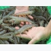 Việt Nam has opportunity to boost white-leg shrimp exports to EU