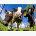 Study: Cows fed functional oils have greater milk fat yield in comparison with those fed mo