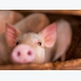 Fungal fermented rye may reduce reliance on antibiotics in pigs