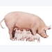Can we increase the birth weight of piglets through feeding interventions in sows in early