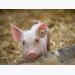 Longitudinal investigation of swine gut microbiome published