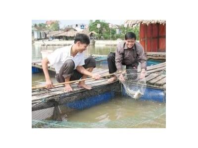 Nuôi Cá Chẻm Thương Phẩm
