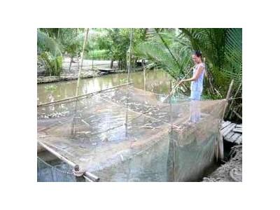 Nuôi Cá Trê Lai Trong Hồ Lót Bạt
