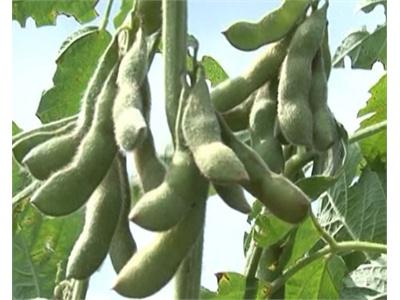 Cách phòng và trị bệnh héo rũ hại đậu nành