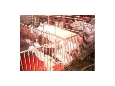 Kỹ Thuật Nuôi Lợn Nái